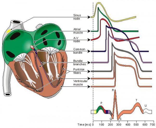 Kiekvienas dantelis atspindi tam tikrą širdies dalies elektrinį aktyvumą. Kiekvienas nusiliedimas, pakilimas, sutrumpėjimas ar ištįsimas ir jų kompleksai būdingi skirtingoms ligoms. Tai tą ir mokomės. Tai dar komplikuočiau, nei atrodo, kol neišmoksti. Paskui įžvelgi pačią širdies esmę.